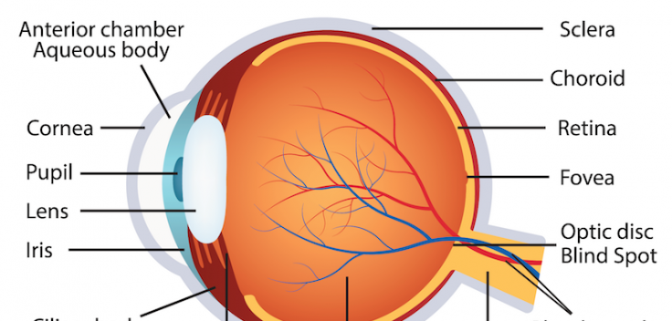 Human Eye Anatomy La Pine Eyecare Clinic